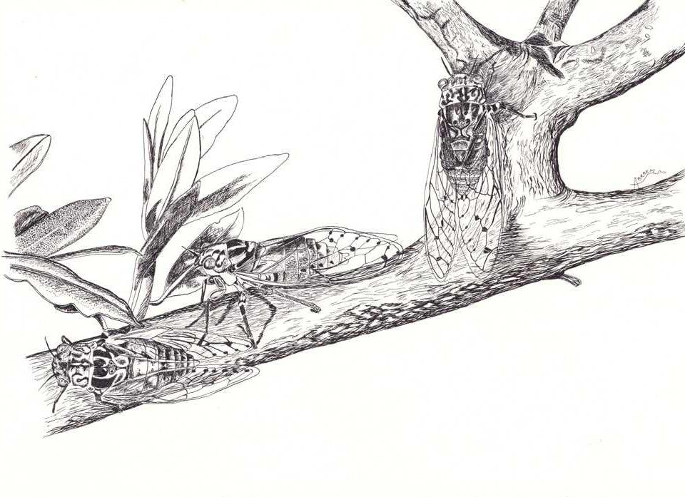 Dessin naturaliste. Trois cigales sur un rameau d'olivier dessiné à l'encre de chine.