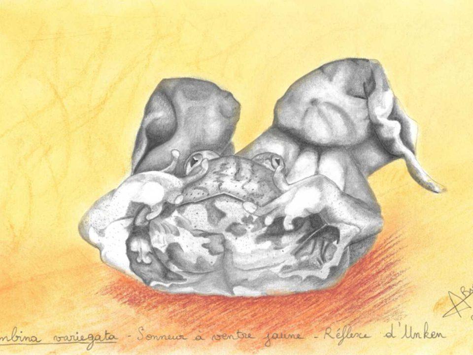 Sonneur à ventre jaune