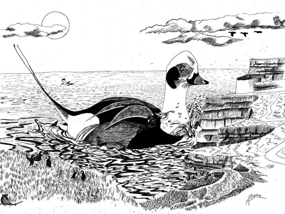 Une énorme Harelde boréale nage au pied des falaises.