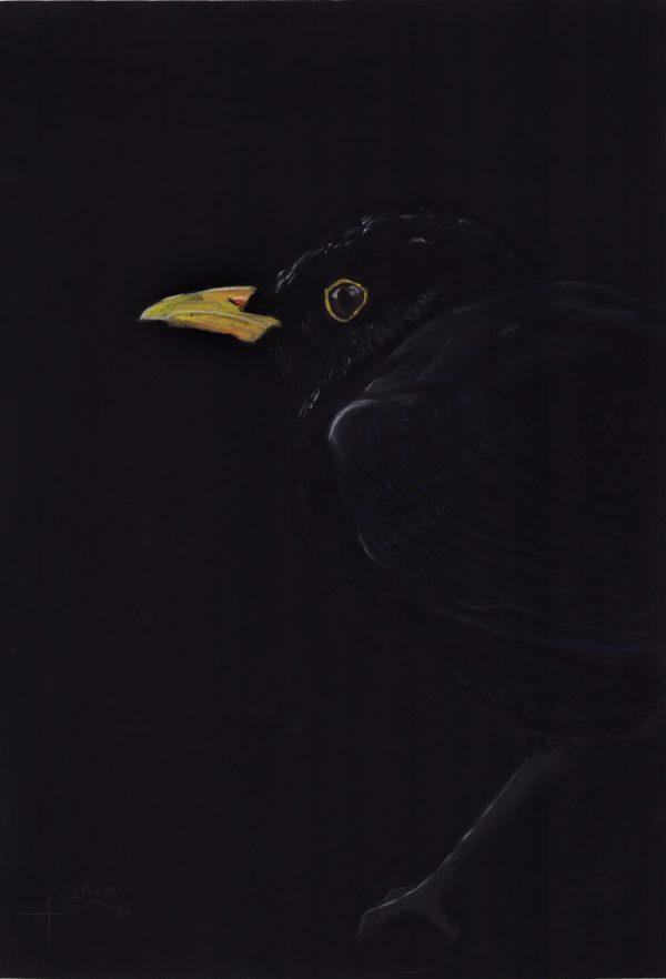 Dessin au pastel sec d'un merle noir sur fond noir. Clair-obscur.